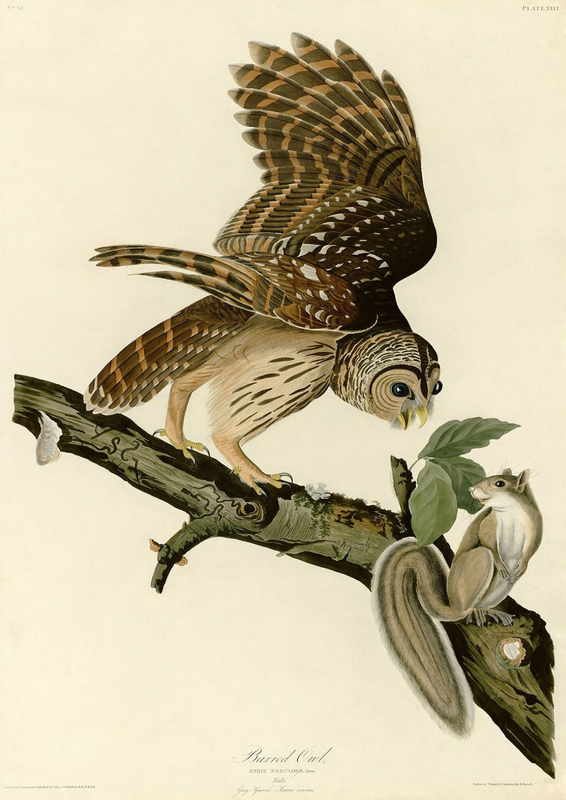Audubon, John James: Barred Owl and Grey Squirrel. Ornithology Fine Art Print/Poster. Sizes: A4/A3/A2/A1 (001010)